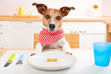 jack russell dog sitting at table ready to eat a an almost empty plate as a diet light meal, tablecloths included Stock Photo