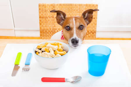 starving: jack russell dog sitting at table ready to eat a full food bowl as a healthy meal, tablecloths included Stock Photo