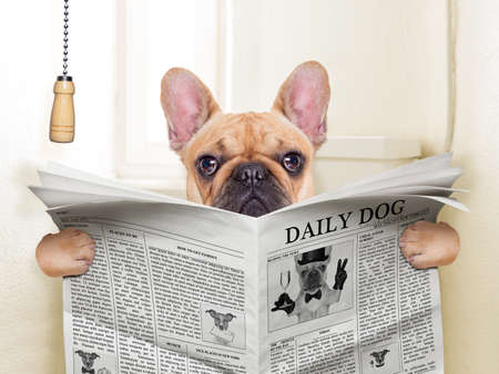 fawn french bulldog dog sitting on toilet and reading magazine