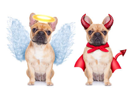 Devil and Angel fawn french bulldog dogs sitting side by side deciding between right and wrong , good or bad, isolated on white background 스톡 콘텐츠