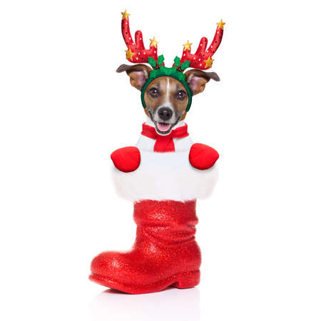 dog in costume: reindeer dog inside a Santa Claus Boot as a christmas surprise or present, isolated on white background Stock Photo