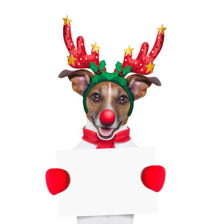 santa moose: reindeer dog holding  a blank white placard or banner with a red nose , isolated on white background Stock Photo