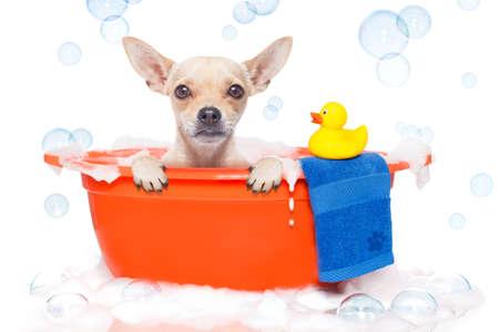 plastico pet: perro chihuahua en una bañera no tan divertida sobre eso, con el pato de plástico amarillo y toalla, cubierto de espuma, aislado en fondo blanco Foto de archivo