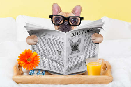 business news: french bulldog dog having nice breakfast or lunch in  bed, reading the newspaper