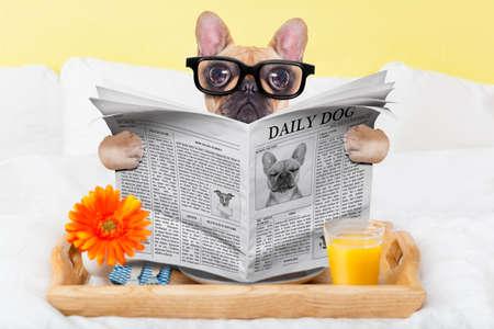 desayuno: perro bulldog francés que tiene buen desayuno o almuerzo en la cama, leyendo el periódico