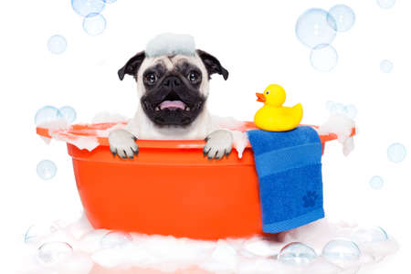 body grooming: pug dog in a bathtub not so amused about that , with yellow plastic duck and towel, covered in foam , isolated on white background Stock Photo