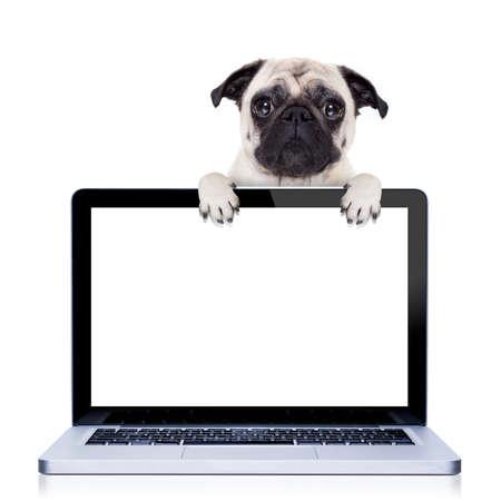 computadora: perro pug detrás de una pantalla de ordenador portátil de la PC portátil, aislado en fondo blanco