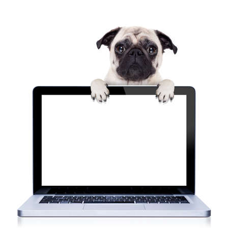 white dog: pug  dog  behind a laptop pc laptop computer screen, isolated on white background