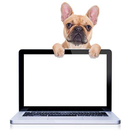 cervatillo perro bulldog francés detrás de una pantalla de ordenador de la PC portátil, aislado en fondo blanco