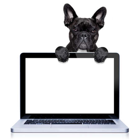 white dog: french bulldog dog  behind a laptop pc computer screen, isolated on white background
