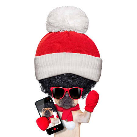 fawn french bulldog dog wearing winter clothing taking a selfie , very proud of its big curly afro wig hair , isolated on white background, a really silly and crazy dumb look photo