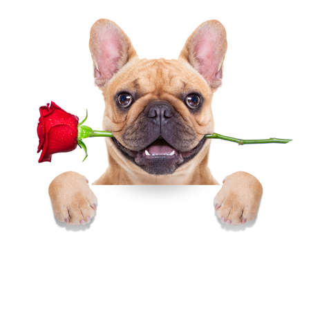i love u: valentines dog in love with you ,  with a red rose in mouth , behind blank white banner, isolated on white background,