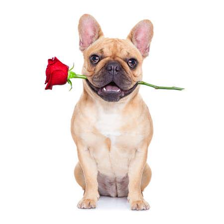 valentines perro enamorado de ti, con una rosa roja en la boca, aislados en fondo blanco, Foto de archivo