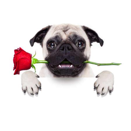 Oslavte pes v lásce s vámi, s červenou růží v ústech, izolovaných na bílém pozadí, za banner