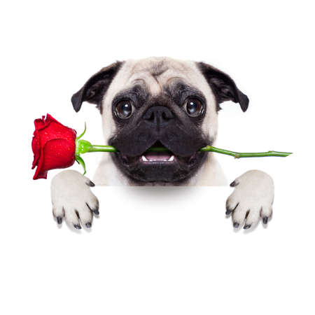 animals and pets: valentines dog in love with you ,  with a red rose in mouth , isolated on white background,behind banner Stock Photo
