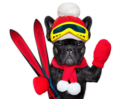 ski slopes: french bulldog dog with ski equipment, wearing goggles , gloves , a hat and a red scarf, isolated on white background