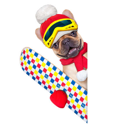 snow ski: fawn french bulldog dog with ski equipment, wearing goggles , gloves , a hat and a red scarf,beside a white blank banner or placard, isolated on white background