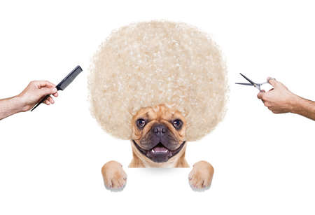 hair curler: hairdresser dog ready to look beautiful at the wellness spa, isolated on white background