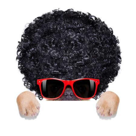 黒アフロ身に着けているサングラスとクールなフレンチ ブルドッグ見てバナーやプラカード、白い背景で隔離の後ろを見て、笑って、巻き毛のかつ