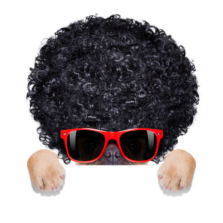 cool french bulldog with sunglasses wearing a black afro look curly wig , smiling at you, behind banner or placard , isolated on white background
