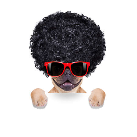hippie: cool french bulldog with sunglasses wearing a black afro look curly wig , smiling at you, isolated on white background