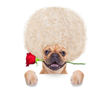 i love u: valentines  french bulldog dog in love with you ,  with a red rose in mouth , isolated on white background,