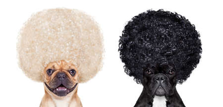 heaven and hell: Devil and Angel french bulldog dogs sitting side by side deciding between right and wrong , good or bad, black or white,isolated on white background Stock Photo