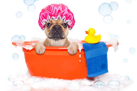 animals and pets: french bulldog dog in a bathtub not so amused about that , with yellow plastic duck and towel, covered in foam , isolated on white background, wearing a bathing cap Stock Photo
