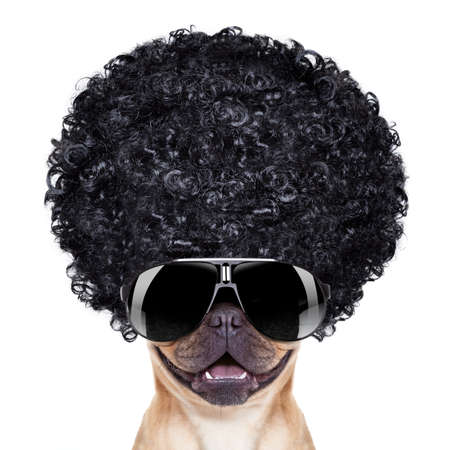 groove: cool french bulldog with sunglasses wearing a black afro look curly wig , smiling at you, isolated on white background