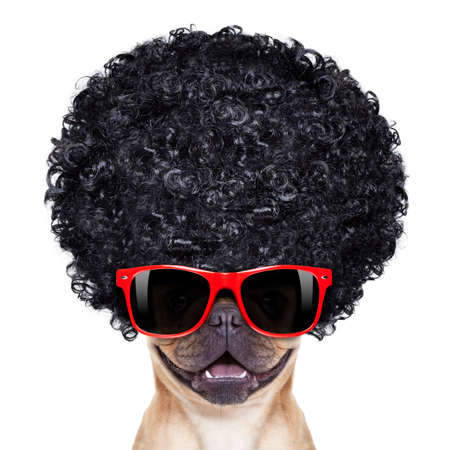 french fancy: cool french bulldog with sunglasses wearing a black afro look curly wig , smiling at you, isolated on white background