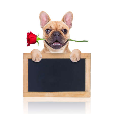 valentines dog in love with you ,  with a red rose in mouth , isolated on white background,