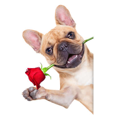i love u: valentines dog in love with you ,  with a red rose in mouth , waving with hands, isolated on white background,