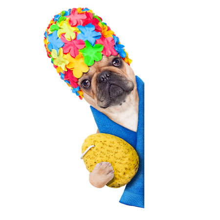 french bulldog puppy: french bulldog dog ready to have a bath or a shower wearing a bathing cap holding a sponge , beside a white and blank banner or placard, isolated on white background Stock Photo