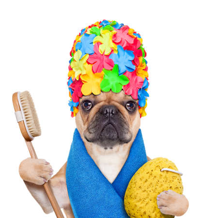 body grooming: french bulldog dog ready to have a bath or a shower wearing a bathing cap and towel, brush and a sponge, isolated on white background