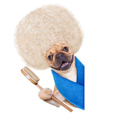 zooth�rapie: bouledogue fran�ais chien ayant un soin au spa ou bien-�tre avec de grands cheveux blonds boucl�s outre une banni�re blanc, isol� sur fond blanc Banque d'images