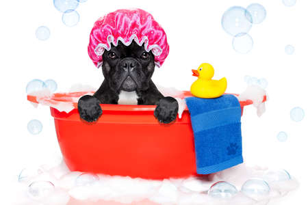 hair shampoo: french bulldog dog in a bathtub not so amused about that , with yellow plastic duck and towel, covered in foam , isolated on white background, wearing a bathing cap Stock Photo