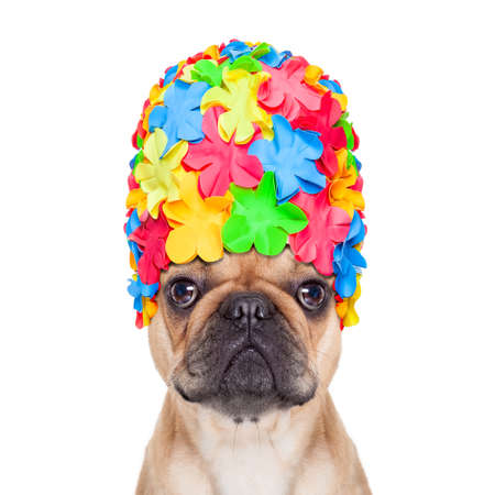 flip: french bulldog dog wearing a bathing or swimming cap ready to enjoy the summer vacation holidays, isolated on white background