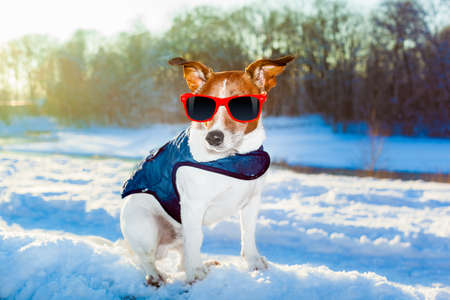 skiing accident: rescue swiss dog with pullover outside in the winter wonder land Stock Photo