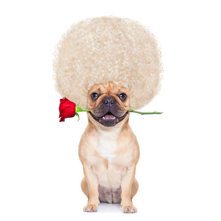 valentines  french bulldog dog in love with you ,  with a red rose in mouth , isolated on white background,