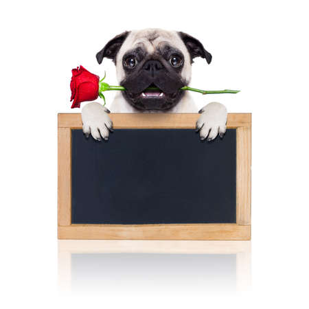 i love u: valentines dog in love with you ,  with a red rose in mouth , isolated on white background,