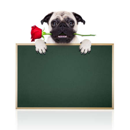 valentines dog: valentines dog in love with you ,  with a red rose in mouth , isolated on white background,
