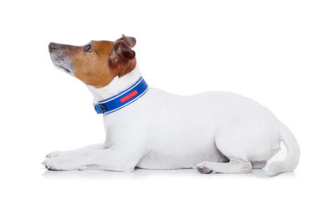 rant: bad behavior dog being punished by owner looking up , isolated on white background