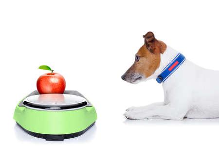 perro comiendo: perro esperando para empezar a comer la manzana sana, para la dieta, aislados en fondo blanco Foto de archivo