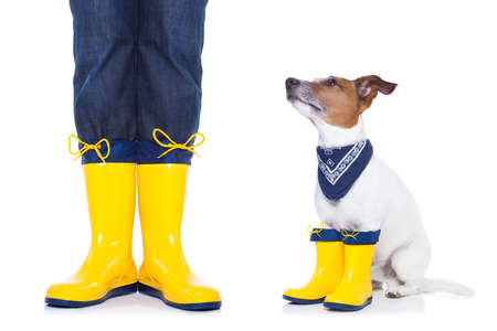autumn rain: jack russell dog sitting, begging and waiting to go for a walk with owner wearing rain boots,  isolated on white background