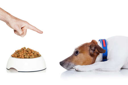 bad diet: dog waiting for a sign to start eating out of the food bowl looking up to owner, isolated on white background