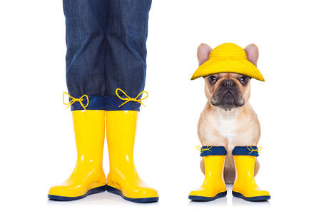 pet  animal: fawn french bulldog sitting and waiting to go for a walk with owner wearing rain boots, isolated on white background