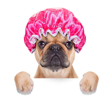 body grooming: french bulldog dog ready to have a bath or a shower wearing a bathing cap, isolated on white background