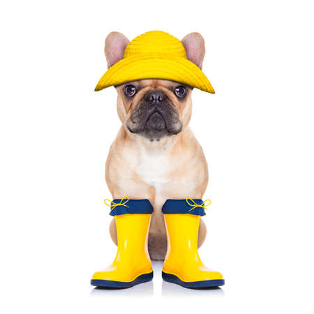 Kitz Französisch Bulldog sitzt und wartet auf einen Spaziergang mit dem Besitzer tragen regen Stiefel zu gehen, isoliert auf weißem Hintergrund