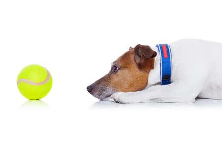 Jack-Russell-Hund bereit zu spielen und Spaß zu haben mit dem Besitzer und Tennisball Spielzeug, isoliert auf weißem Hintergrund Standard-Bild