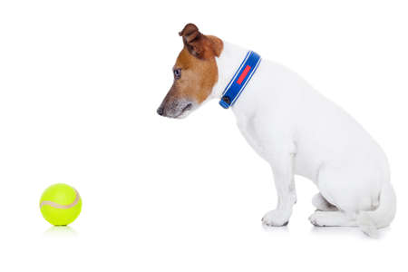 jack russell dog ready to play and have fun with owner and tennis ball toy